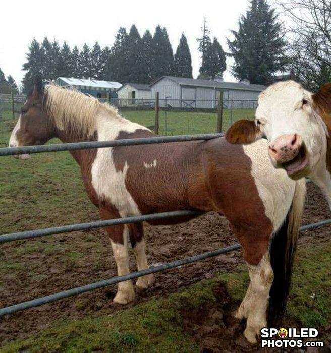 - Why was I born a cow .. I would moo the house down